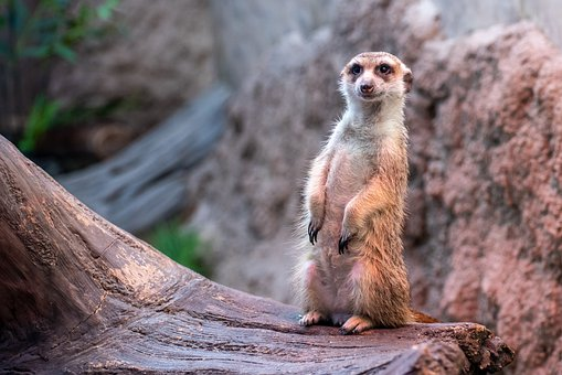 Meerkat, Animal, Zoo, Curious
