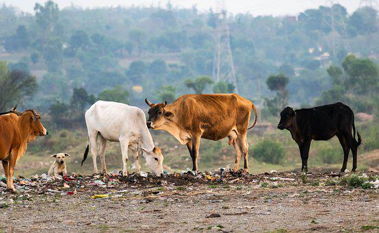 Cows, Cattle, Stray, Agriculture, Beef, Animal, Pasture