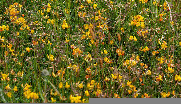 Bird'S-Foot Trefoil, Lotus Corniculatus