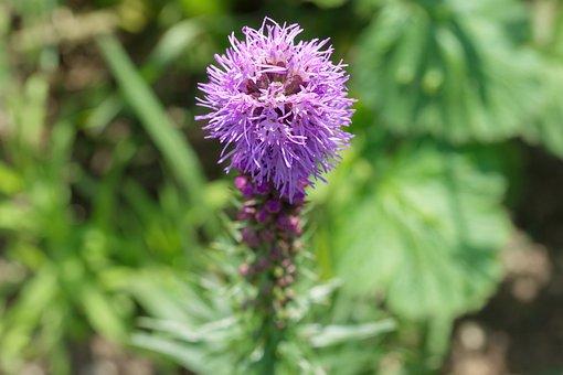 Flower, Inflorescence, The Purple Petals, Buds, Garden