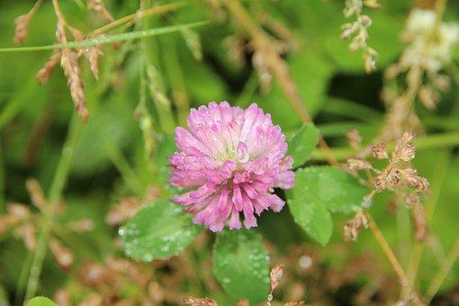 Clover, Bloom, Red Clover, Grass, Summer, Nature