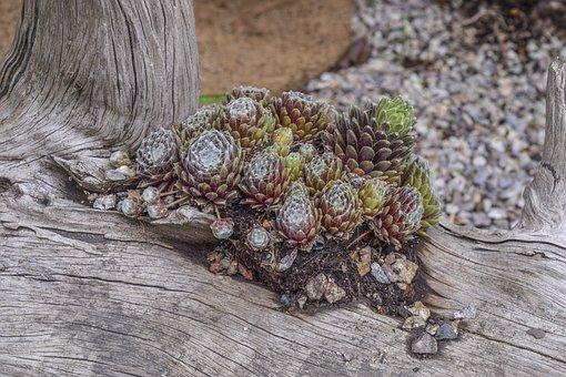 Wurz, Plant, Green, Houseleek, Pointed
