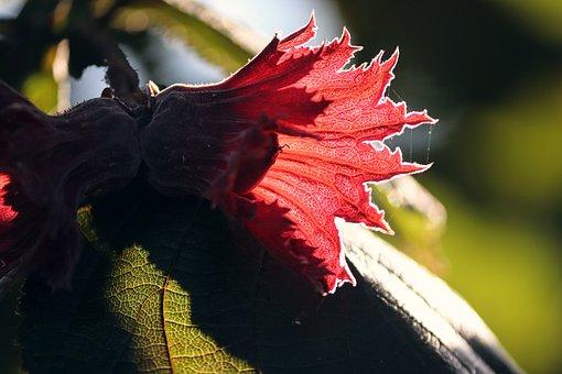 Hazelnut, Hazel, Corylus Avellana, Hazelnut Leaf