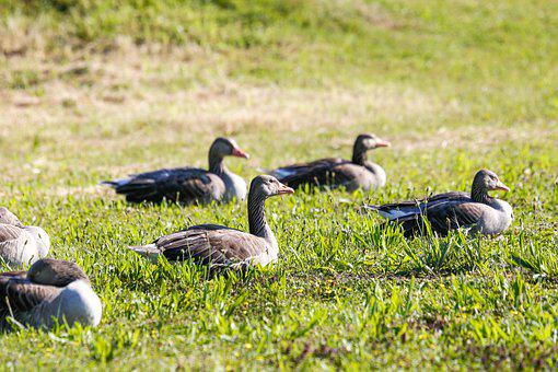 Geese, Grey Geese, Migratory Birds, Poultry, Wild Geese