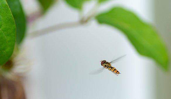 Insect, Summer, Stripes, Yellow, Black, Wings, Garden