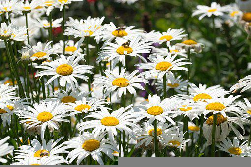 Daisies, Flowers, The White Petals, The Yellow Stamens