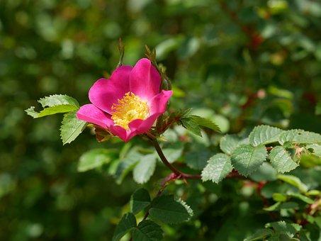 Wild Rose, Rose, Pink, Bush, Roses, Petals, Fragrant