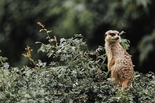 Zoo, Meerkat, Moody, Animal, Wild, Animal World, Mammal