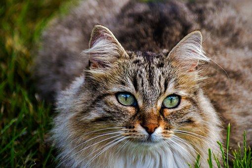 Feline, Animal, Domestic, Fur, Cat