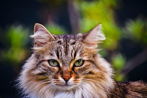 Feline, Animal, Fur, Domestic, Cat