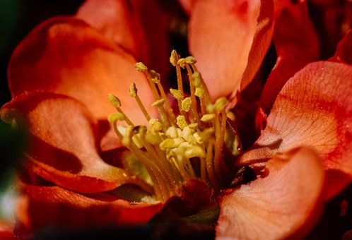 Blossom, Bloom, Plant, Red, Stamens, Pollen, Spring