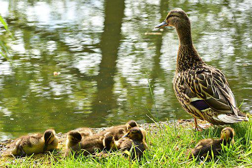 Nature, Duck, Chicks, Water Bird, Plumage, Fluffy