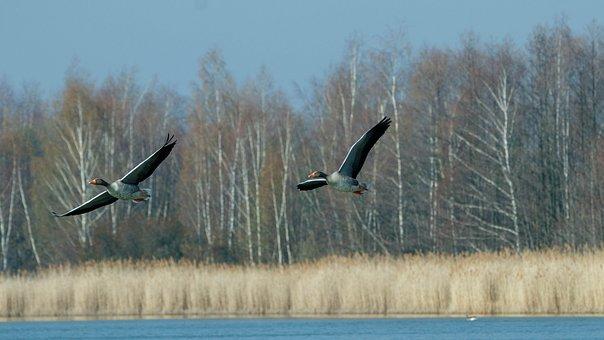 Flight, Geese, Wing, Bird, Nature, Wildfowl, Lake