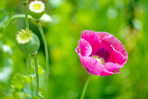Poppy, Pink, Seed Pods, Green