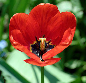 Flower, Tulip, The Petals Of The Red, Stamens, Pestle