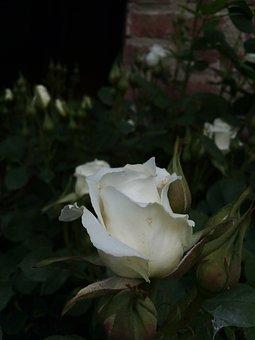 Rose, Life, Garden, Flowers, Black Life