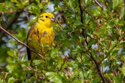 Female Yellowhammer, Yellowhamer, Perched, Songbird