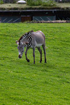 Zebra, Zoo, Animal, Africa