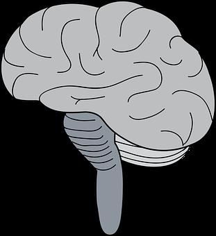 Brain, Cerebrum, Brainstem, Cerebellum