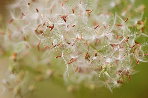 Seed, Fluff, Natural, White, Fluffy, Wind, Plant