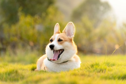 Corgi, Dog, Cute, Animal, Sleepy