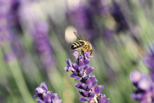 Honey Bee, Bee, Insect, Lavender, Lavender Blossom