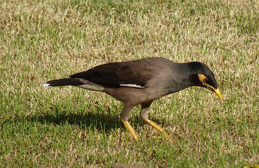 Bird, Common Myna, Indian Myna, Avian