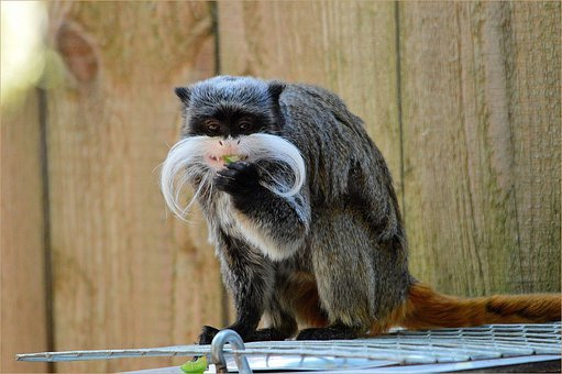Dwarf Monkey, Pinch Monkey, Cotton Tamarin, Moneky