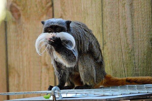 Dwarf Monkey, Pinch Monkey, Cotton Tamarin, Monkey