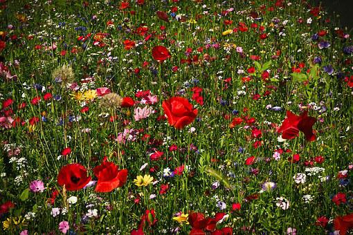 Flower Meadow, Wild Flowers, Flowers, Nature, Blossom