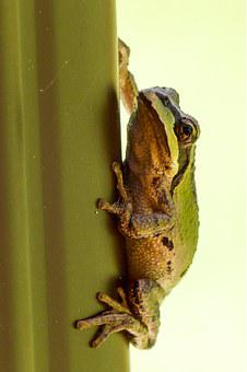 Tree Frog, Hanging, Clued, Green, Frog, Amphibian, Tiny