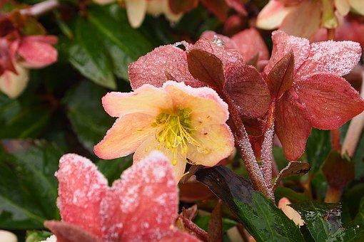 Helleborus Orientalis, Flower, Ripe, Spring, Anemone