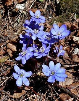 Liverwort, Dolinka Bolechowicka, Spring, Flower, Macro