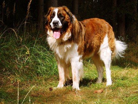 Moscow Guard Dog, Moskevák, Russian Dog