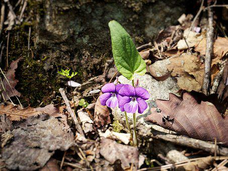 Violet, Flowers, Mountain, Nature, Forest, Spring