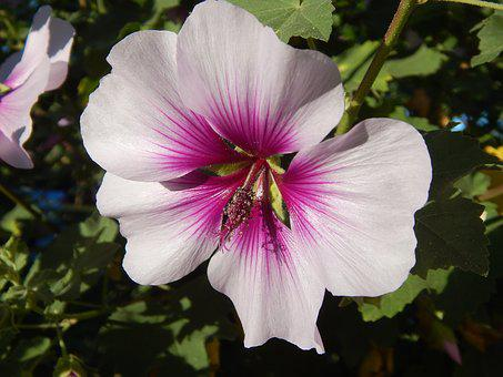 Flower, Rose Of Sharon, Hibiscus, Pink, Purple Blossom