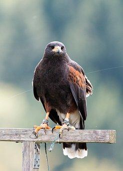 Harris Hawk, Raptor, Falconry, Bird Of Prey, Bird