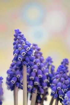 Grape Hyacinth, Muscari, Blossom, Bloom, Spring, Bloom