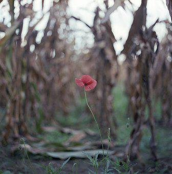Poppy, Alone, Field, Red, Spring, Flower, Wild, Meadow