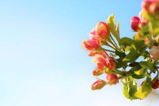 Background, Flowers, Spring, Tree, Apple, Bud, Pink