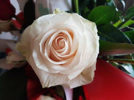 Rosa, White, Flower, Love, Sant Jordi, Santjordii