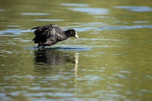 Coot, Water, Nature, Waters, Animal World, Water Bird