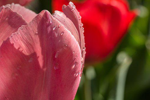 Tulips, Flowers, Blossom, Bloom, Drop Of Water, Wet