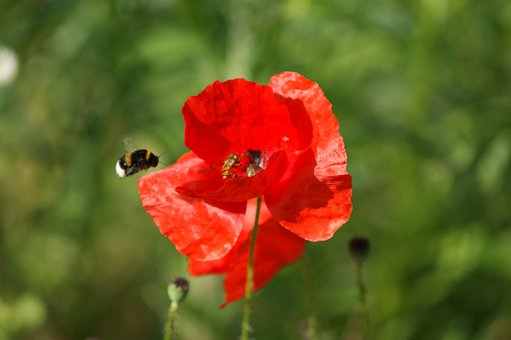 Poppy, Bee, Honey, Collect, Klatschmohn