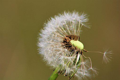 Dandelion, Nature, Spring, Flower, Plant, Summer