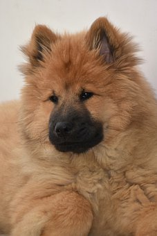 Dog, Dog Eurasier, Eurasier, Bitch Ponieblue, Animal