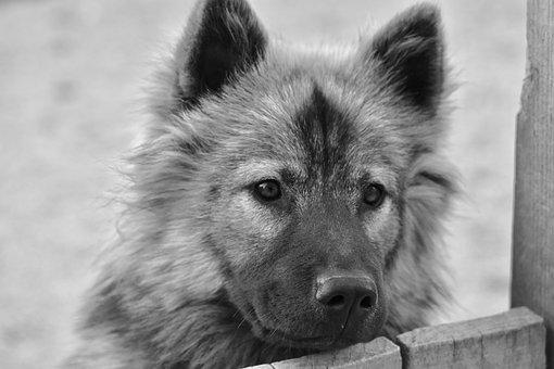 Dog, Bitch, Eurasier, Female, Animals, Canine, Doggie