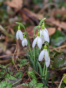 Perce-neige, Galanthus, Plants, Flower, White, Flowers
