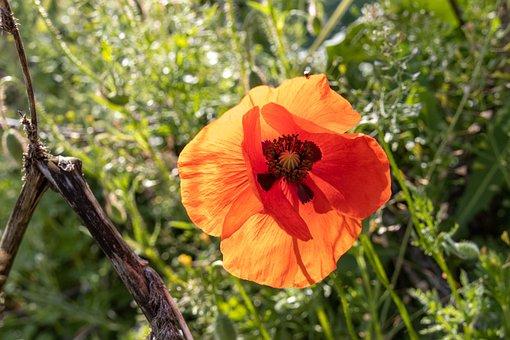 Poppy, Orange, Nature, Blossom, Bloom, Flower