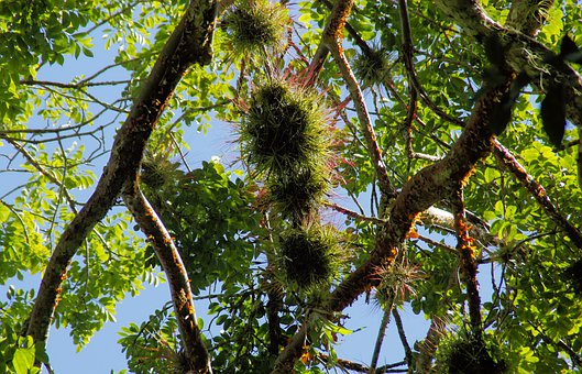 Guatemala, Saprophyte, Plant, Branches, Trees, Exotic